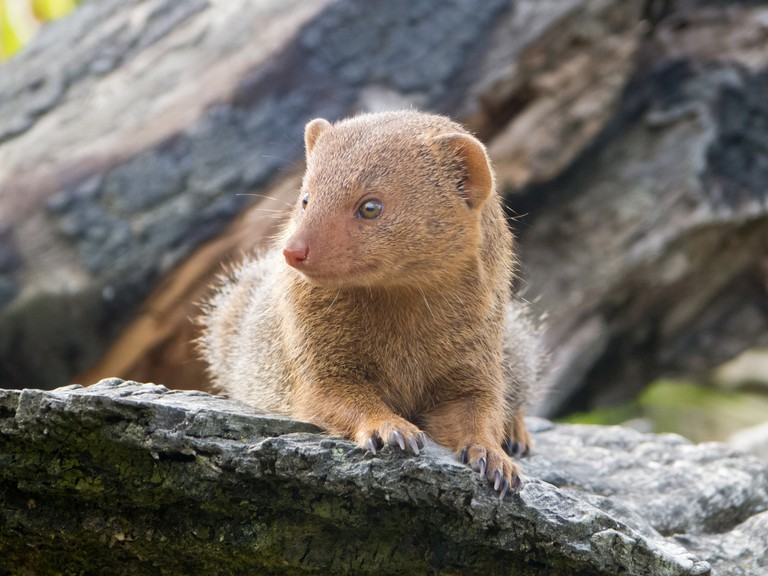 Mongoose | © Jonathan Jordan/Flickr
