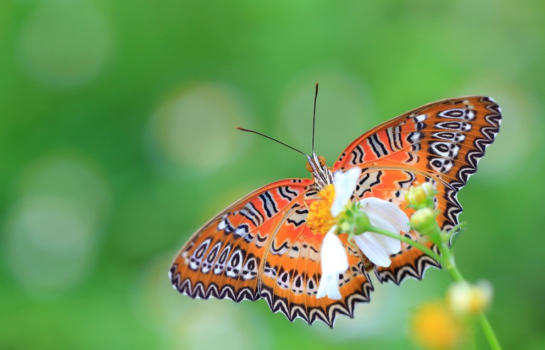 Beautiful Butterfly | © Eugene Lim/Flickr