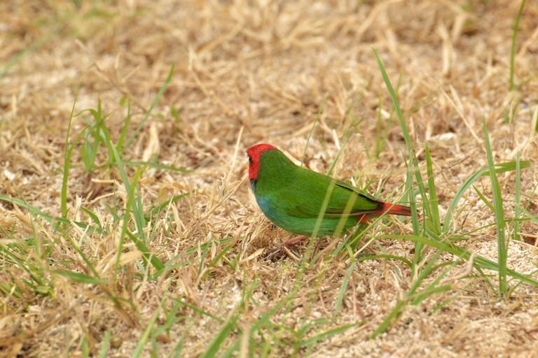 Fiji Parrotfinch | © Victor Ulijn / Flickr