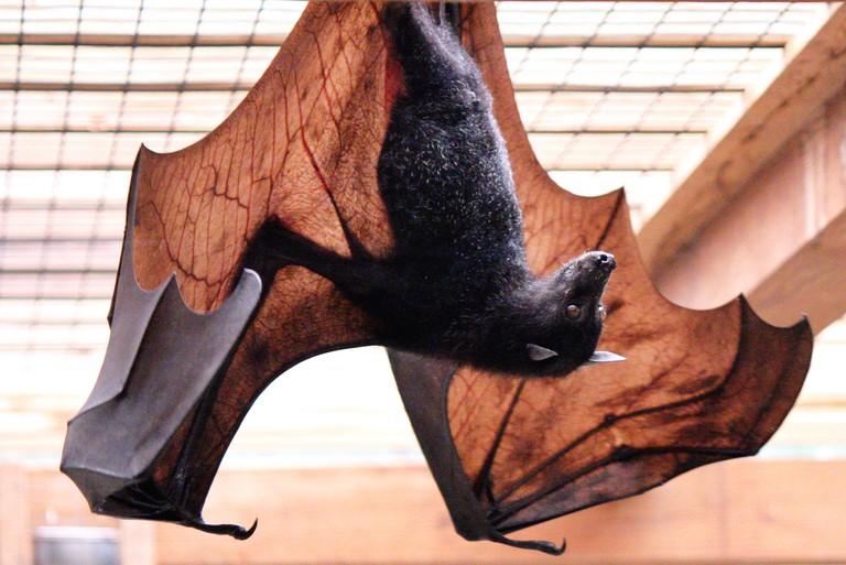 Bat | © Darrell Rudmann/Flickr