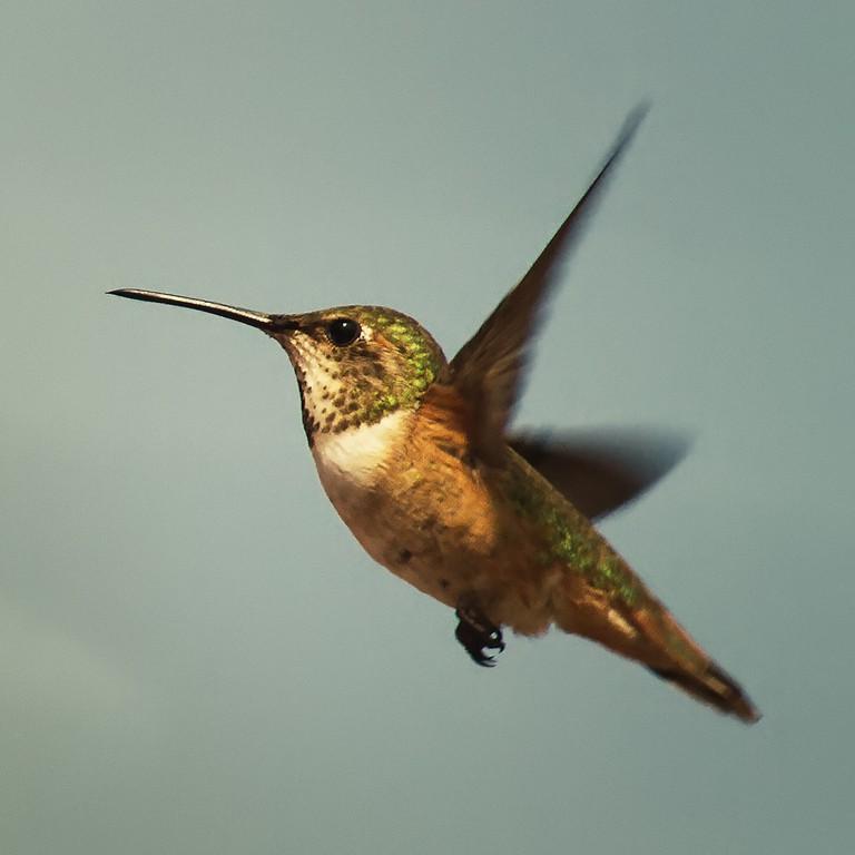 Hummingbird | © Pedro Szekely/Flickr