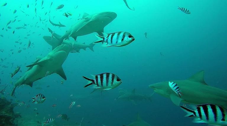 Beqa Sharks | © amanderson2/Flickr
