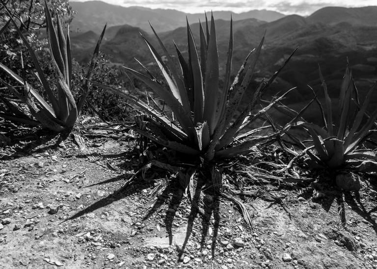Espadín agave, rough around the edges | © Nedarus/Flickr