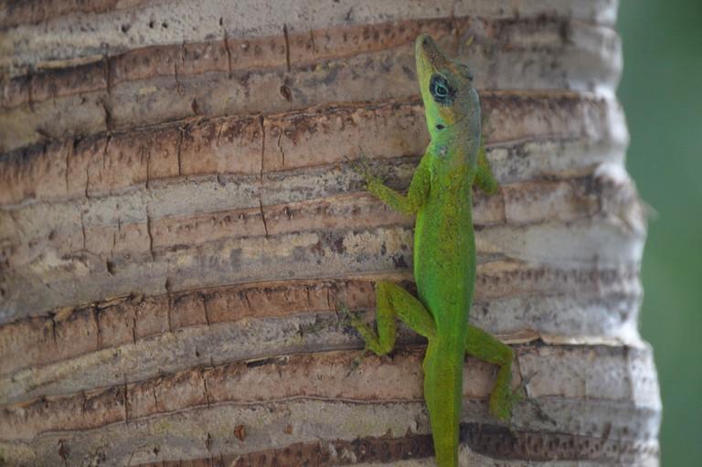 Barbados Lizard | © Tiffany S Boyd/Flickr