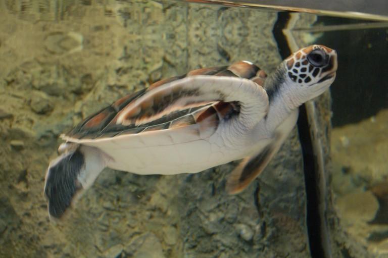 Green Turtle   © Thomas Au/Flickr