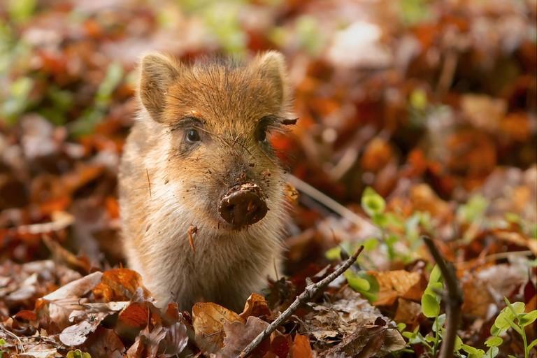 A young wild boar in Hoge Veluwe   © Sander van der Wel/Flickr