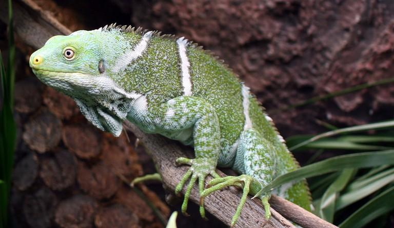 The crested iguana at the Kula Eco Park in Fiji