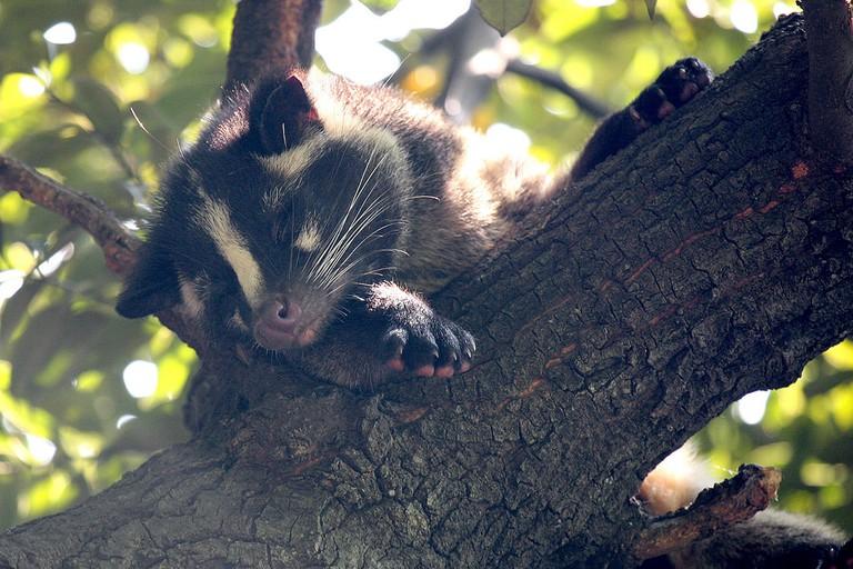 Masked Palm Civet   © Kabacchi/Flickr