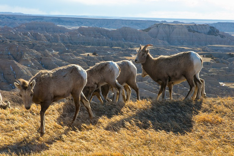 A group of Bighorn Sheep | Public Domain | Badlands Nation Park/Flickr