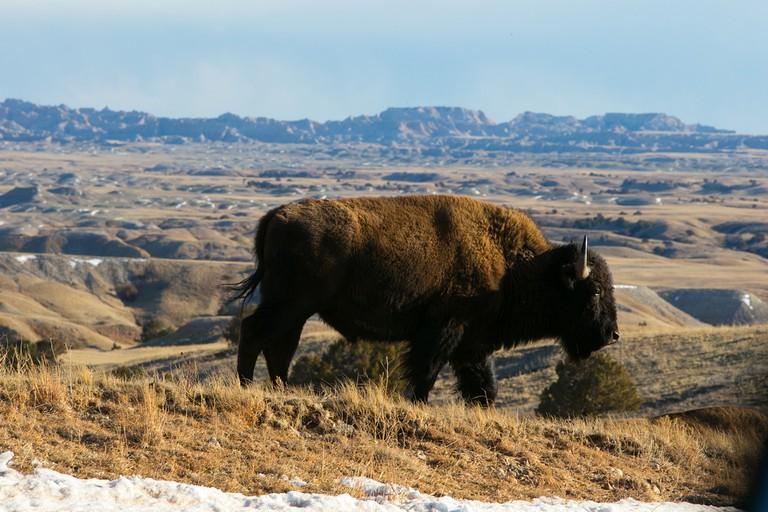 Bison | Public Domain | Badlands Nation Park/Flickr