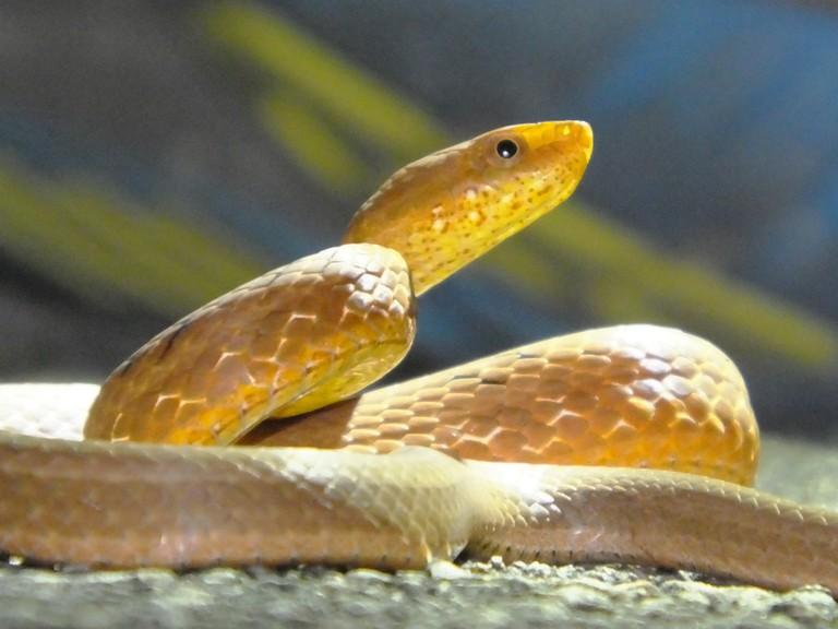 Rufous Burrowing Snake   © Charles Lam/Flickr