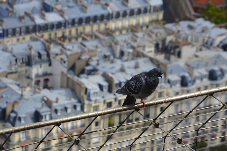 A pigeon with its back to Parisian rooftops │© Luc Potage / Flickr