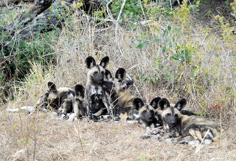 African wild dog puppies in Kenya | © suresh_krishna / Flickr