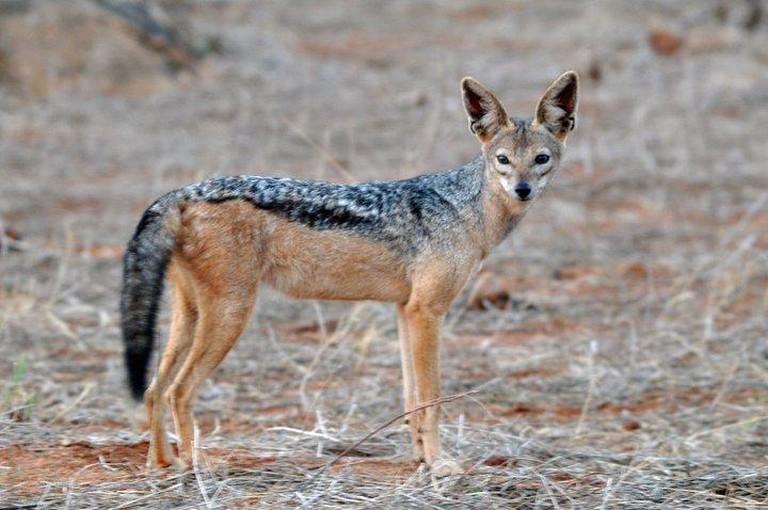 A black-backed jackal in the Kenyan plains| ©ontariodiver/ Flickr