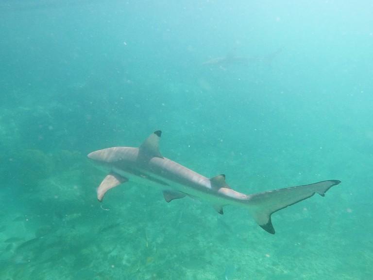 Black Tip Sharks at the Aldabra Atoll. ©Paulette Cappell