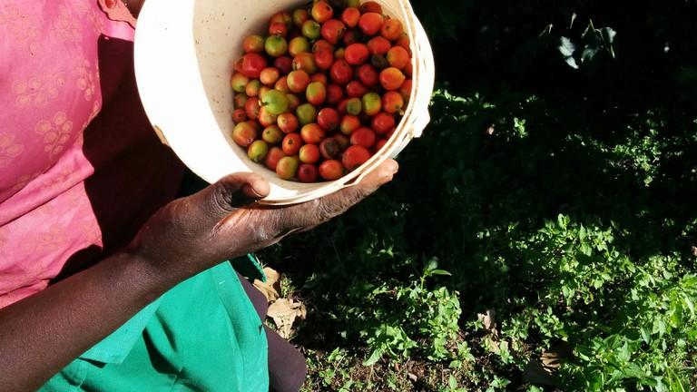 Freshly picked coffee berries   © datakid musicman / Flickr
