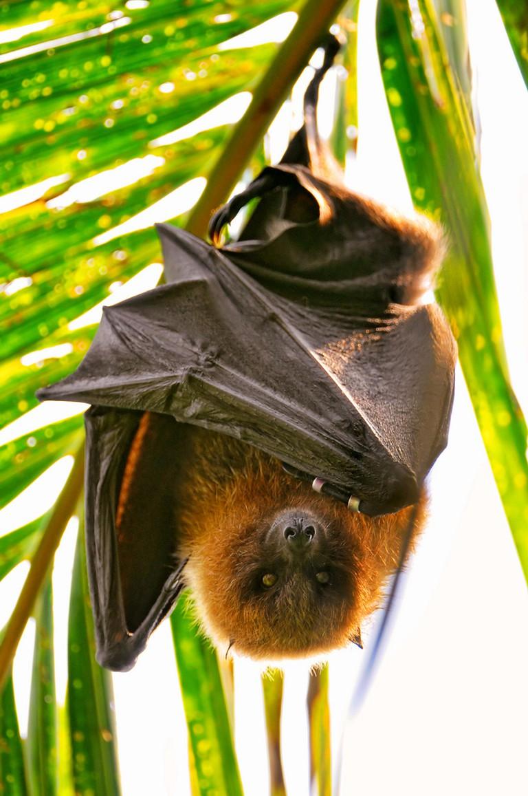 Fruit Bat | ©Tambako The Jaguar/Flickr