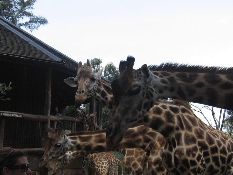 Rothschild giraffes at Giraffe Manor | © Valentina Buj / Flickr