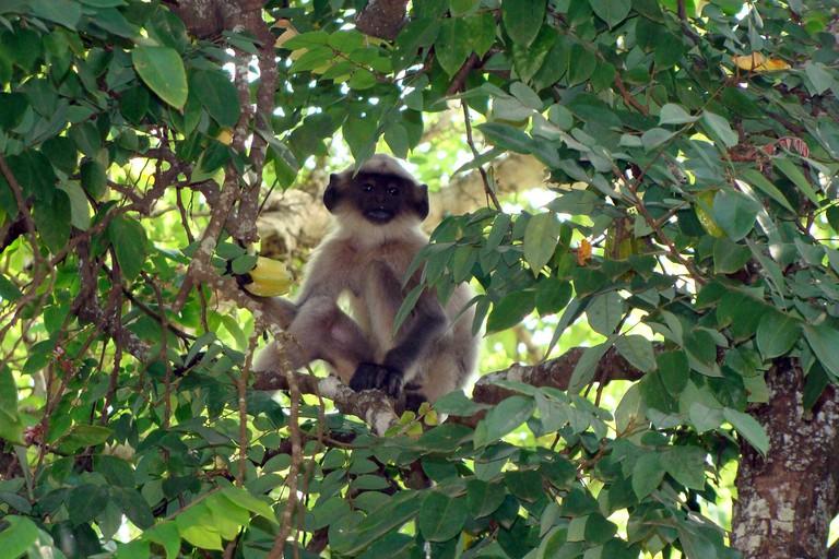 Monkey in Tree | © Sarangib/Pixabay