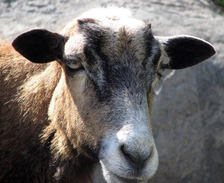 Barbados Sheep | © Jean/Flickr