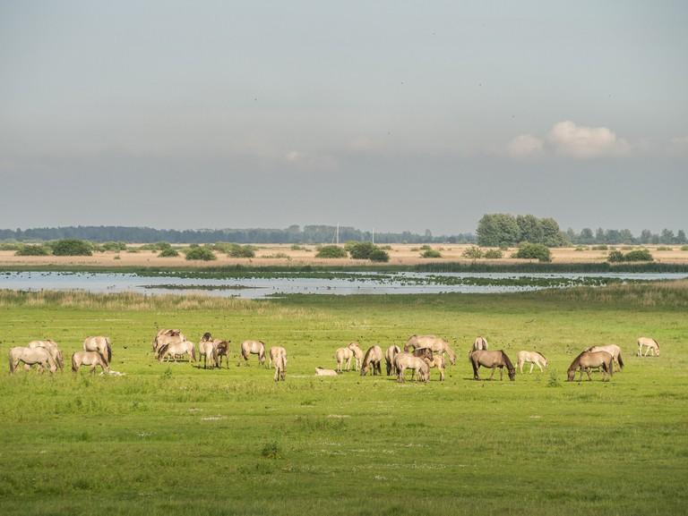 Horses graving in Lauwersmeer   © Uberprutser/WikiCommons