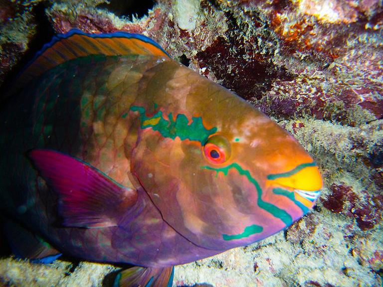 Parrot fish/Dean Croshere/Flickr