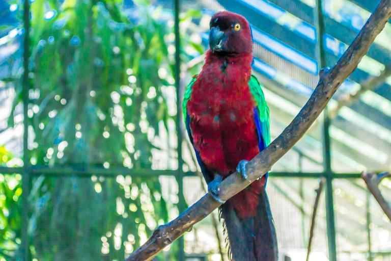 Crimson Shining Parrot | © Juliette Sivertsen