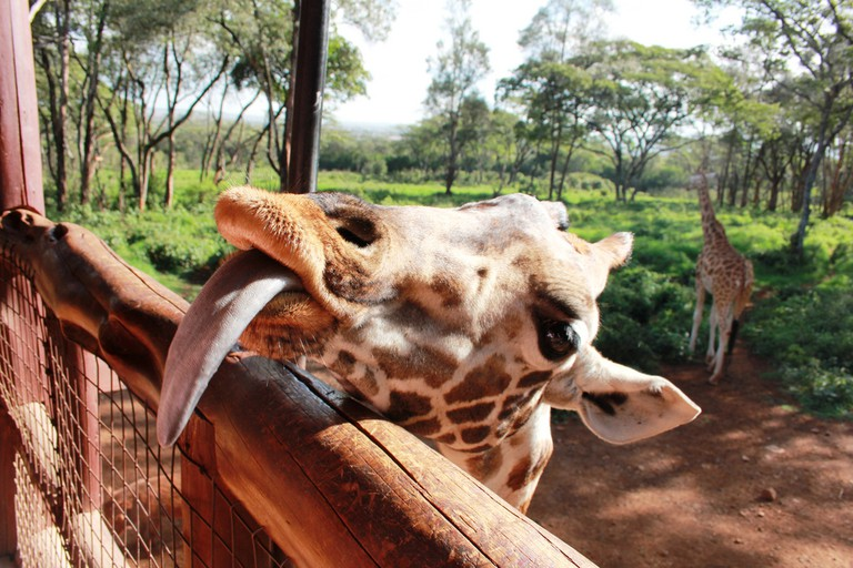 A Rothschild giraffe at Giraffe Centre | © Filip Lachowski / Flickr