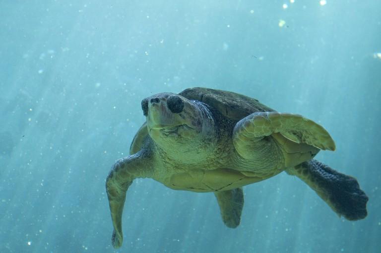 Sea Turtle | © Ketennison/Pixabay