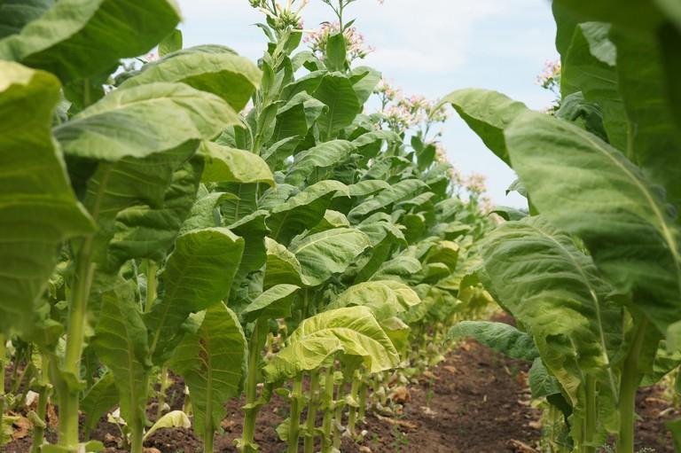 Tobacco plant | Pixabay
