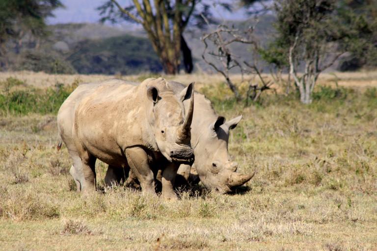 Two white rhinos grazing | ©jackenglish/ Flickr