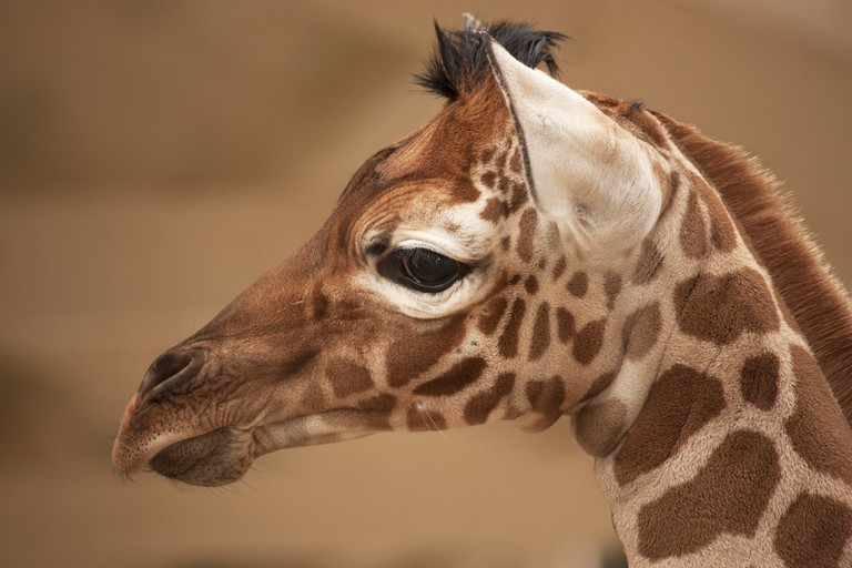 A baby giraffe at Artis Zoo | ©Kitty Terwolbeck/Flickr