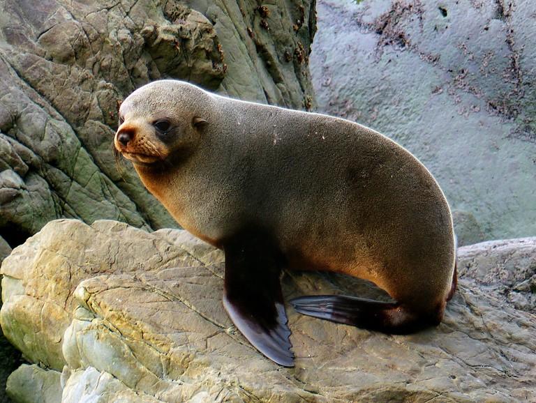 Southern New Zealand Fur Seal | © Bernard Spragg/Flickr