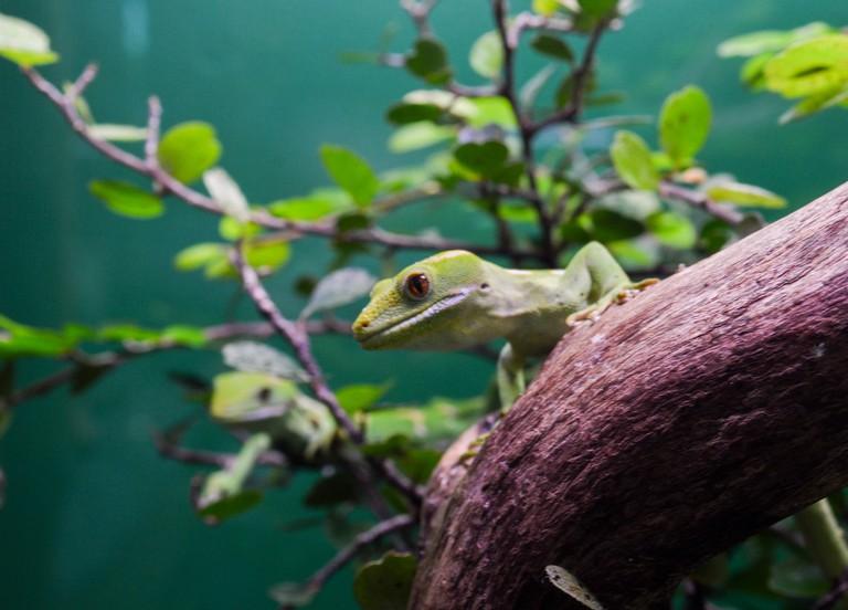 New Zealand Gecko | © Francisco Anzola/Flickr