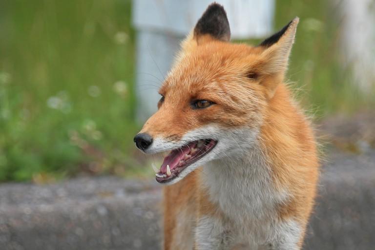 Hokkaido red fox | ©Nakae / Flickr