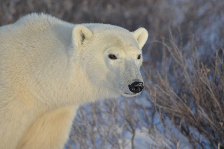Churchill Polar Bear Close Up | © Joe Brockmeier / Flickr