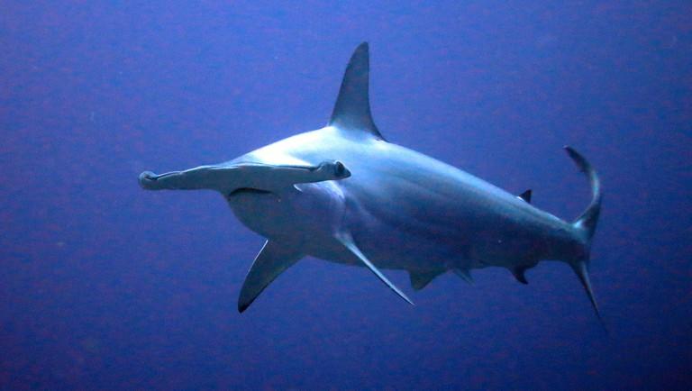 The scalloped hammerhead shark | ©Kevin Lino / Flickr