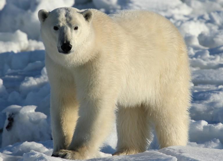 Polar Bear Spotting in Churchill | © Emma/Flickr