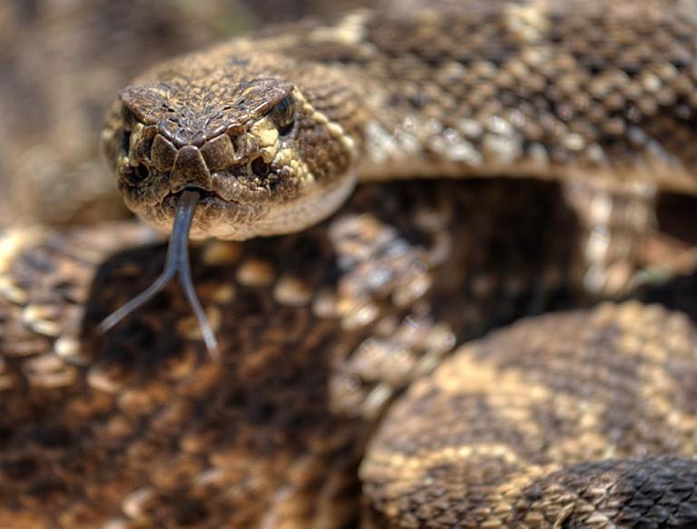 Diamondback Rattlesnake © Ralph Arvesen