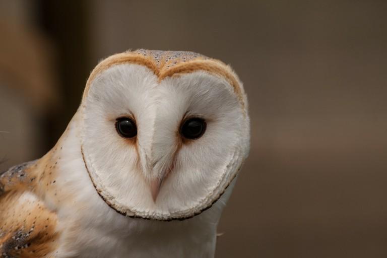 Barn Owl | © MikeZwei/Pixabay