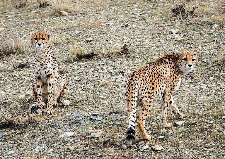 Iranian cheetahs | © Erfan Kouchari / Wikimedia Commons