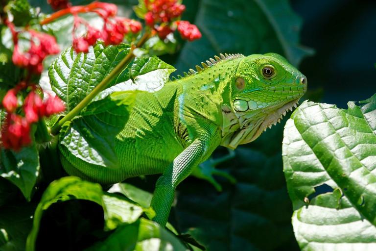 Iguana   © Salao228/Pixabay
