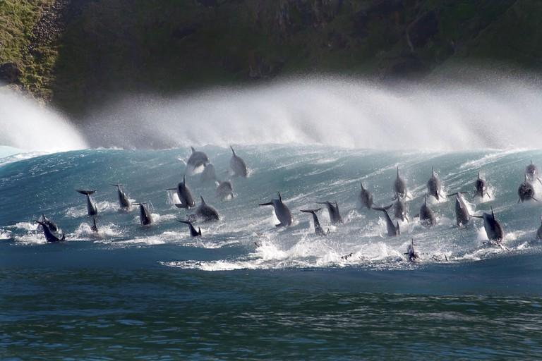 Surfing bottlenose dolphins, South Africa |© Steve Benjamin