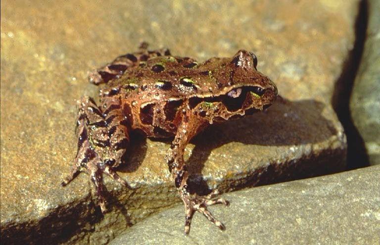 Archey's Frog (Leiopelma archeyi) | © Wikimedia Commons