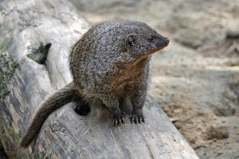 Mongoose | © Hansben/Pixabay