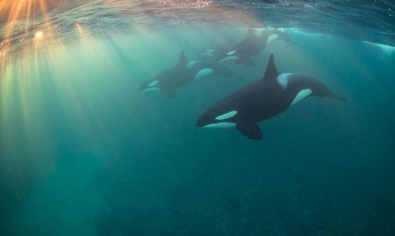 Orca Pod | © Nicholai Georgiou / UPY 2017