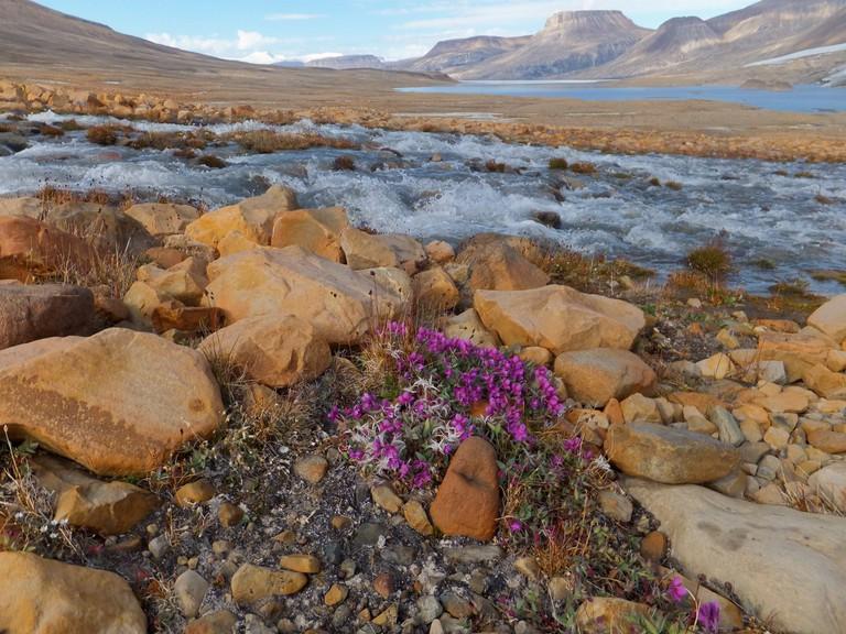 River Beauty Flowers at Ekblaw Lake | © Wikimedia Commons