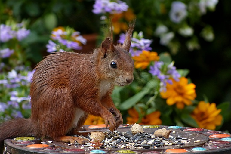 Eurasian red squirrel (sciurus vulgaris) | ©Oldiefan / Pixabay