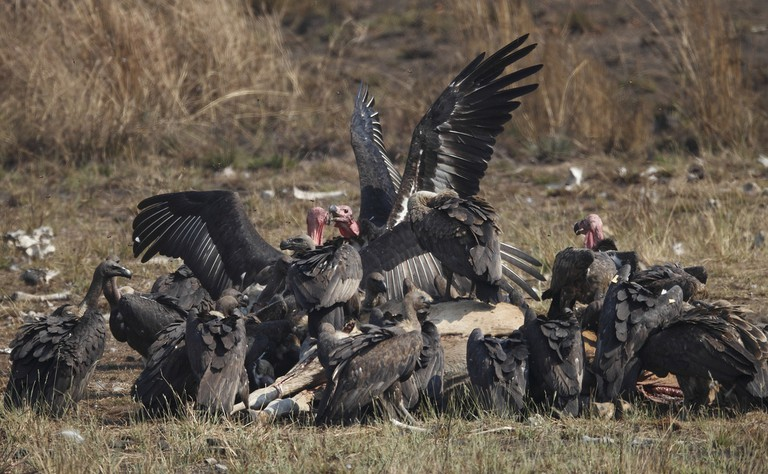 Vultures feeding at Beng Toal Vulture Restaurant s part of one of Sam Veasna Centre's tours © Martin Hale.
