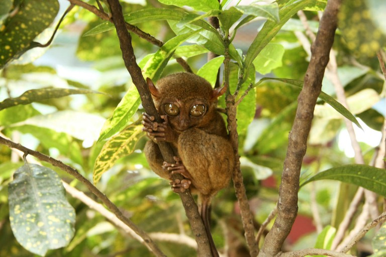 Philippine Tarsier in Bohol | © Ian Go / Flickr